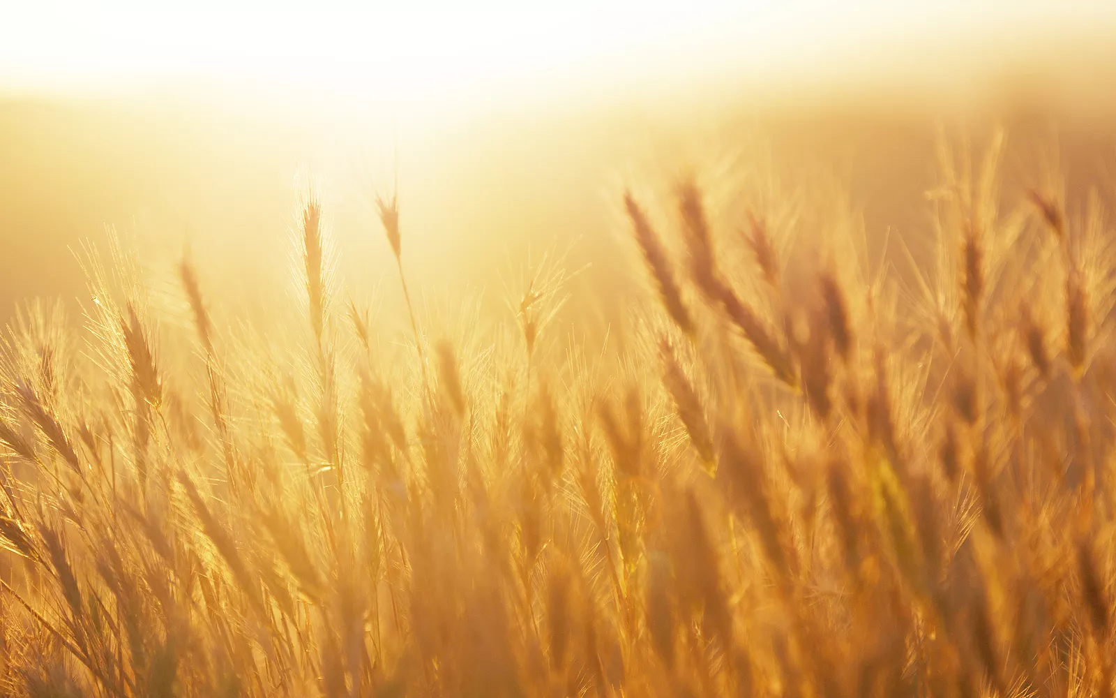 Gluten-Free Customer Dies In Wheat Field
